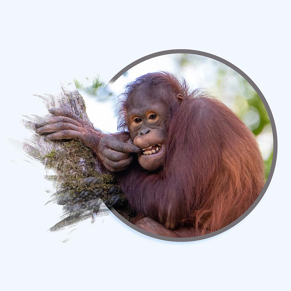 Orang-oetan – Orangutan (Alwetterzoo 2020)