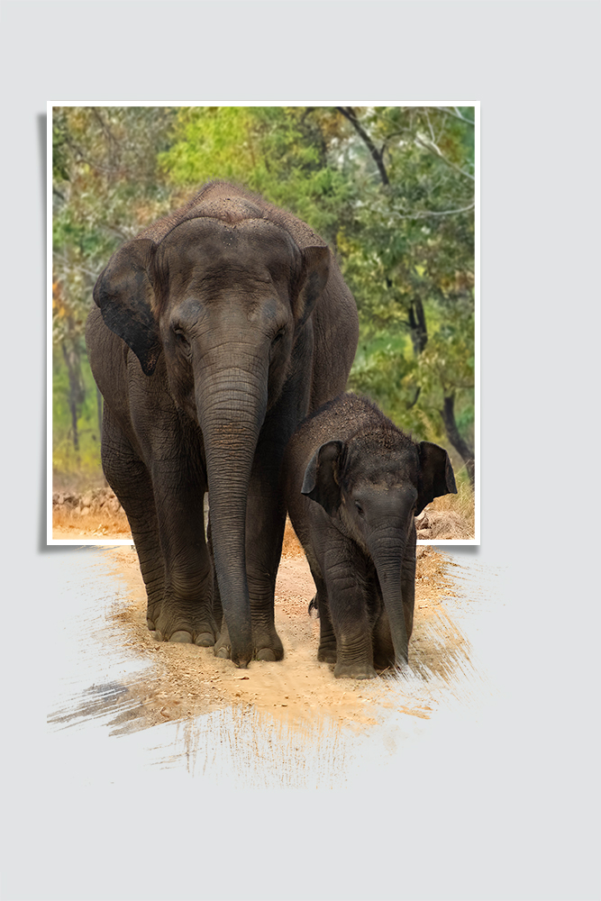 Aziatische olifant - Asian elephant (ZOO Planckendael 2018)