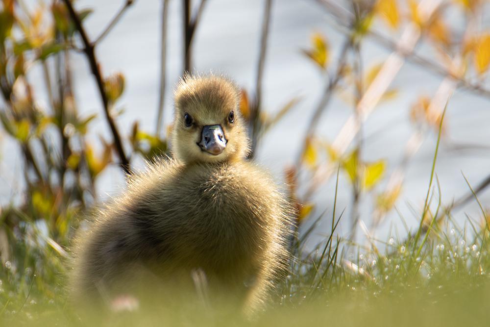 Ganzenkuiken - Goose chick