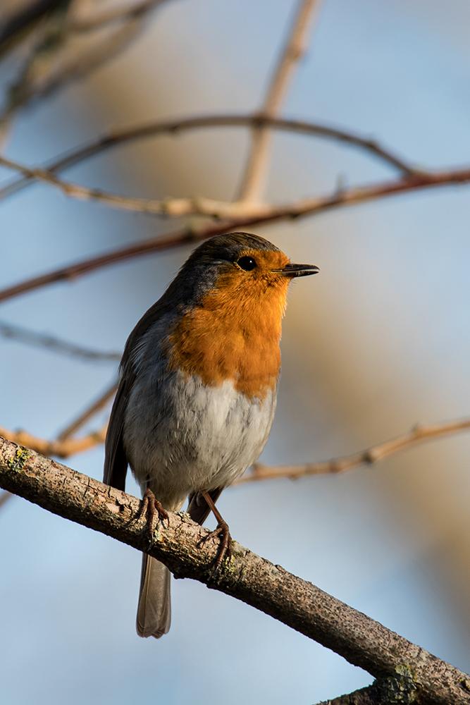 Roodborstje - Robin