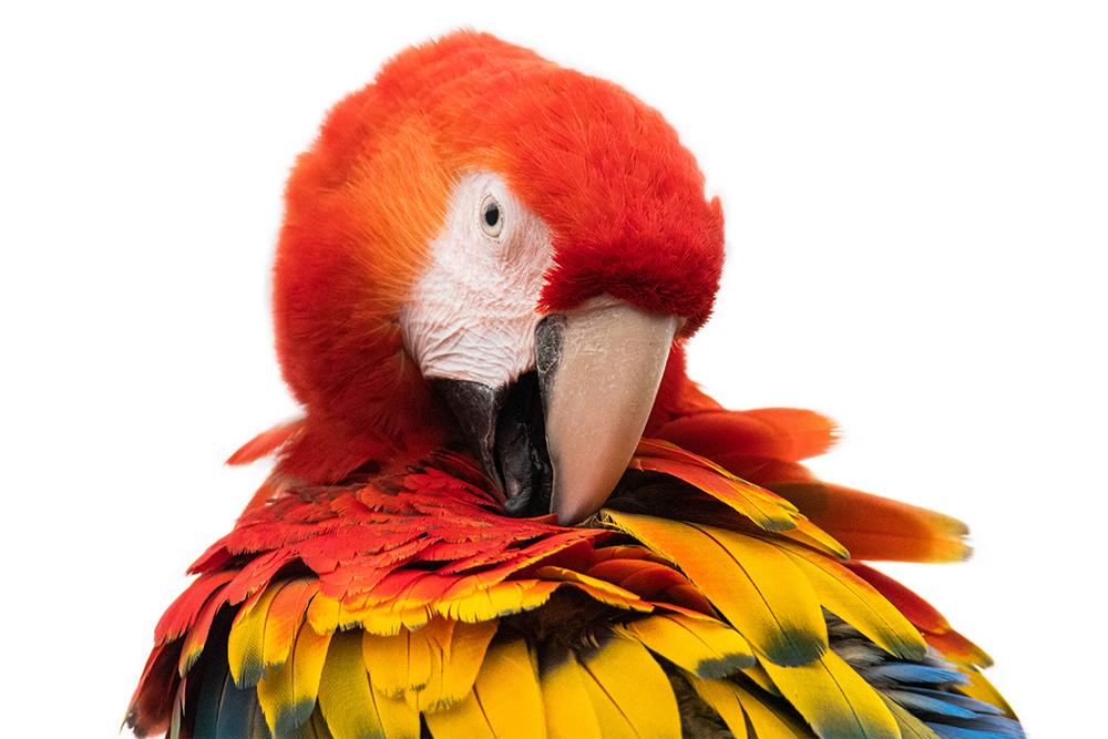 Geelvleugelara - Scarlet macaw