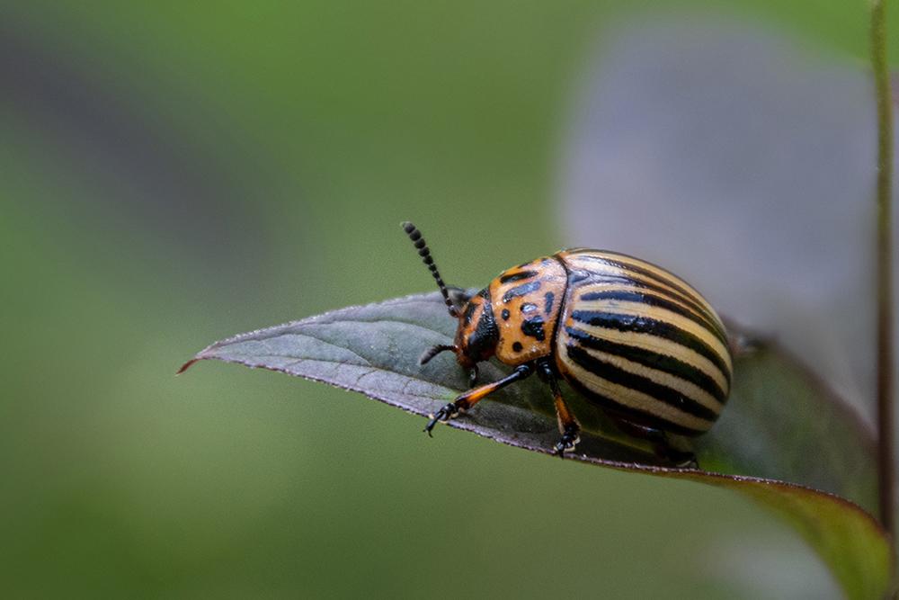 Coloradokever - Colorado potato beetle