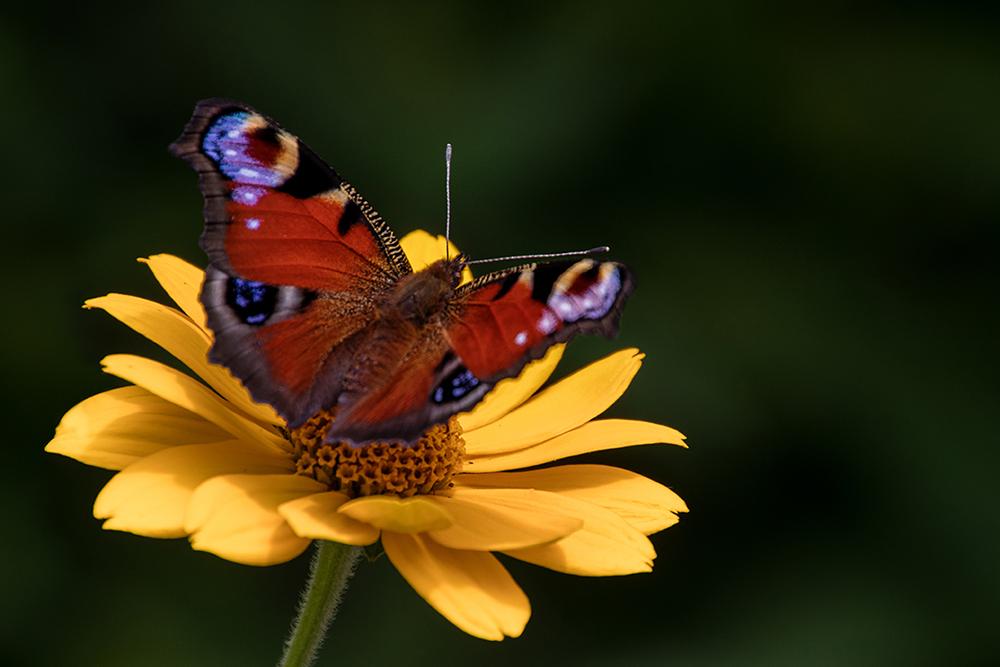 Dagpauwoog - Peacock butterfly