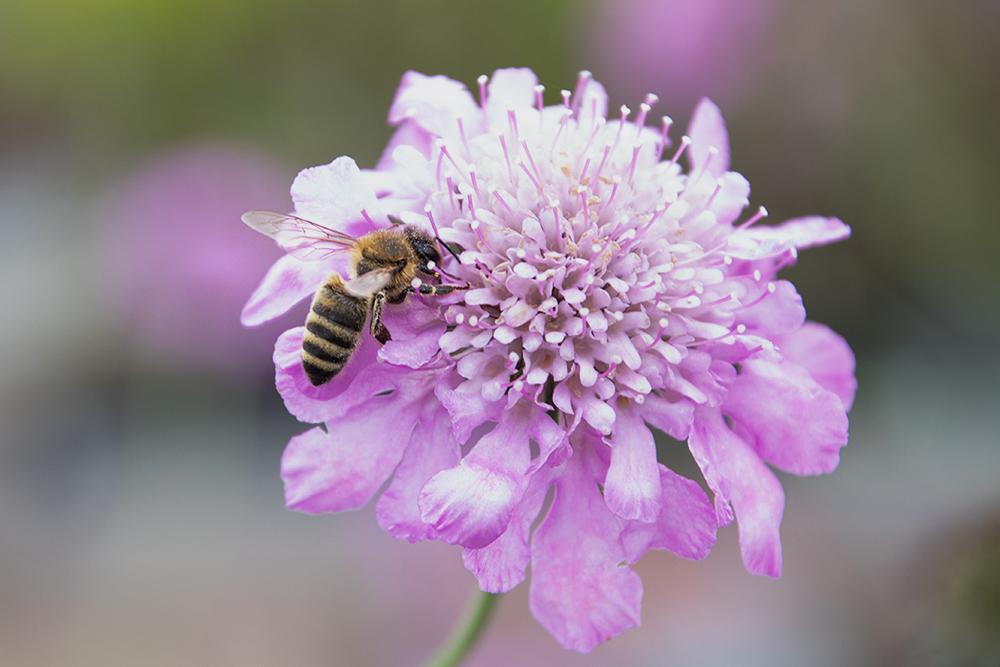 Honingbij - Honey bee