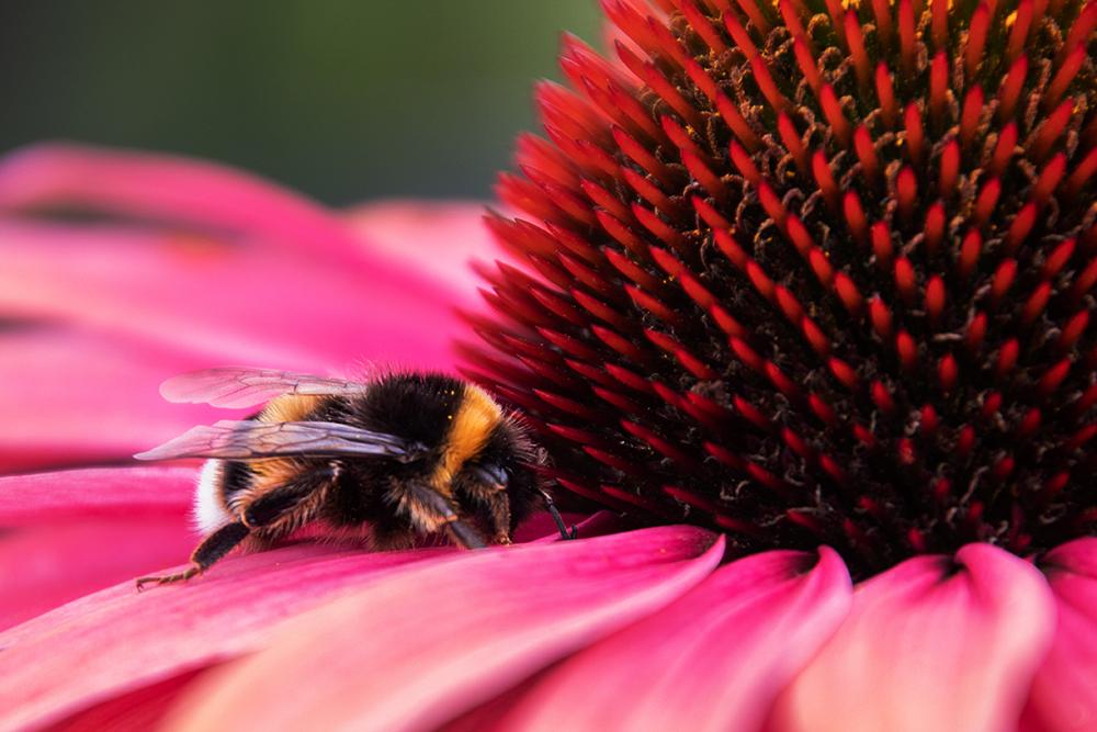 Aardhommel - Buff-tailed bumblebee