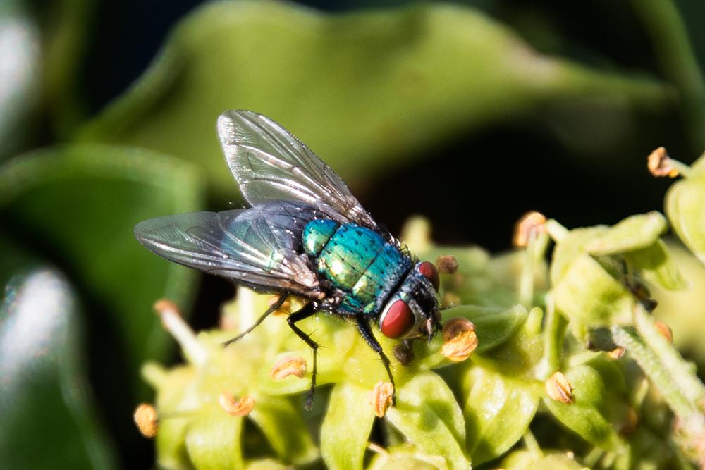 Groene keizervlieg - Lucilia caesar
